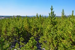 Young pine tree forest in Yellowstone, Wyoming Stock Images