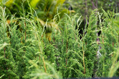 Young pine tree Royalty Free Stock Images