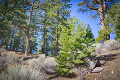Young Pine Tree on Hillside Stock Photography