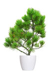 Young pine tree isolated over white Stock Image