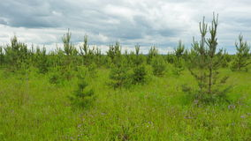 Young pine tree in a meadow. Spring green meadow with young pines Stock Photo