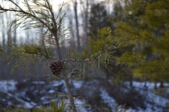 young pine Royalty Free Stock Images