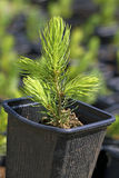Young pine tree. Stock Photo