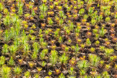 Young pine tree seedling Royalty Free Stock Photo