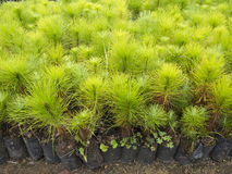 Young pine tree seedling in plastic pot Royalty Free Stock Photo