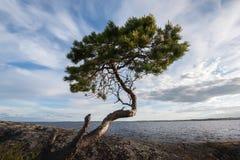 Young pine tree on stony lake shore Royalty Free Stock Photography