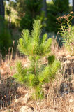 Young pine tree Stock Images