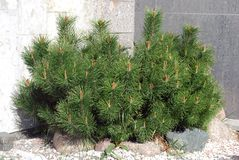 Young pine tree by the wall Stock Photos