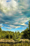 Young pine trees  and clouds above them Stock Image