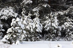Young pine trees covered with snow Royalty Free Stock Photo