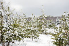 Young pine trees covered in snow Stock Images