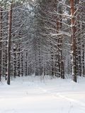 Young pine trees a fluffy snow. Stock Photo