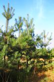 Young pine trees Royalty Free Stock Photography