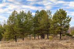 Young pine trees on the hill in spring. Landscape Royalty Free Stock Photography