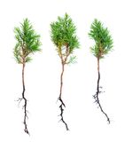 Young pine trees Stock Image