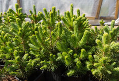 Young pine trees. Royalty Free Stock Photos