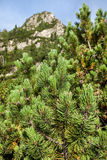 Young pine trees on the slopes of the High Tatras Stock Images