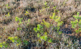 Young pine trees between withered heath plants Royalty Free Stock Photography