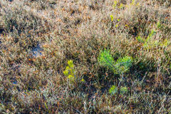 Young pine trees between withered heath plants Stock Photos