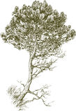 Young pine. Vector drawing of an young pine tree Stock Images
