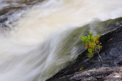 Young pine with waterfall Stock Image