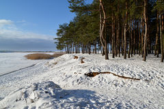 The young pine wood on the bank of Vistula Lagoon. Winter landscape Royalty Free Stock Photo