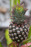 Young Pineapple Royalty Free Stock Image
