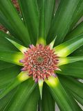 Pineapple plant colourful top view. Young pineapple fruit growing, colourful top view from the middle of the pineapple plant royalty free stock photo