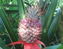 THIS IS YOUNG PINEAPPLE FRUITS stock photo