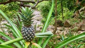 Young pineapple grows. Koh Phangan. Thailand Royalty Free Stock Photos