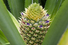 Young pineapple. Royalty Free Stock Photography