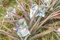 Young pineapple in paper wrapped, good protection from sun burn. Royalty Free Stock Photography