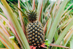 Young pineapple tree in plant close up. Plantation, orchard Stock Image