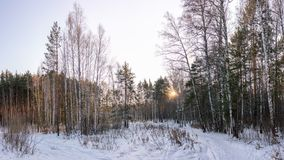 Pines and birches in the winter forest are lit by the setting sun stock photos