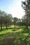 Young pines. Cities gardening. Madrid. Royalty Free Stock Image