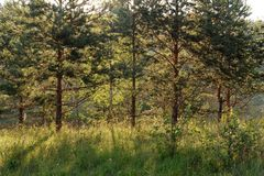 Young pines in morning light Royalty Free Stock Image