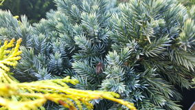 Young pines needles firs fir tree Stock Photo