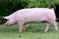 Side view photo of a young domestic pig sow on animal farm summe. Young pink colored pig sow runs  across animal farm Stock Image