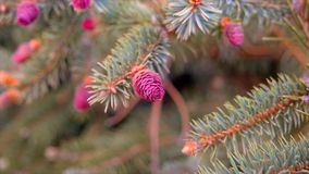 Young pink cones on the pine tree branches closeup. Shot stock video footage