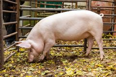 Domestic pig rooting in shed royalty free stock image