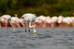 Young Pink Flamingo Stock Image