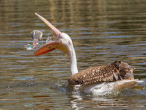 Young Pink Pelican Playing Stock Photography