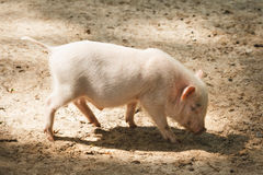 Young pink piggy Royalty Free Stock Image
