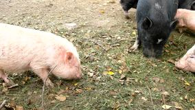 Young pink piglet and old brown pigs are grazing fresh green grass on dray clay. Young pink piglet and old brown pigs are grazing fresh green grass on meadow stock footage