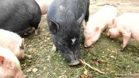 Young pink piglet and old brown pigs are grazing fresh green grass on dray clay. Young pink piglet and old brown pigs are grazing fresh green grass on meadow stock video footage