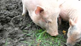 Young pink piglet and old brown pigs are grazing fresh green grass on meadow. Young pink piglet and old brown pigs are grazing fresh green grass in farm stock video footage