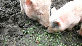 Young pink piglet and old brown pigs are grazing fresh green grass and smashing pumpkins. Young pink piglet and old brown pigs are grazing fresh green grass on stock video