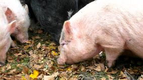Young pink piglet and old brown pigs are grazing fresh smashing pumpkins. Young pink piglet and old brown pigs are grazing fresh green grass and  fresh smashing stock video