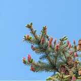 Young pink pine cone Stock Image