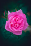 Young pink rose Royalty Free Stock Images